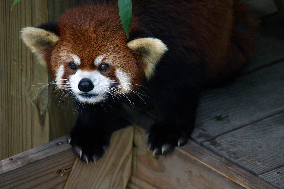 A red panda looking out from its zoo enclosure